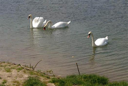 Лебеди Носовского района